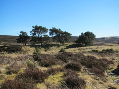Scots Pines on Hayston Hill