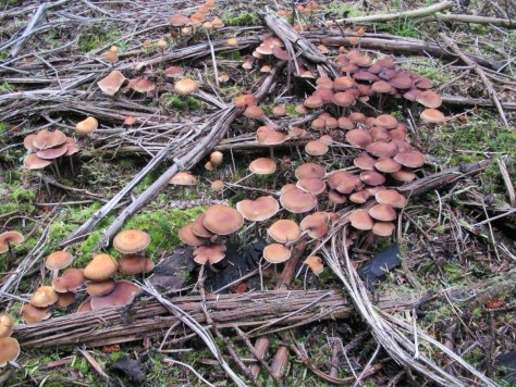 Mushrooms in a firebreak on Hoole Hill