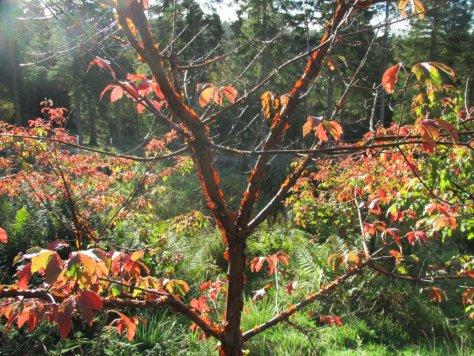 Paperbark maple in Aitken Arboretum, Deuchny Hill