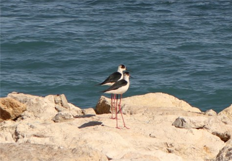 Black winged stilts, Cap Ferrat