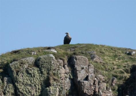 Sea Eagle, Mull