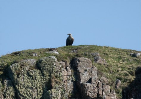Sea Eagle, Mull