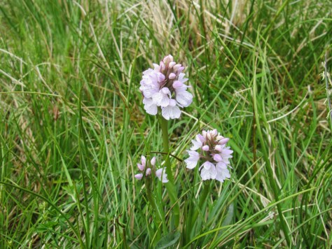 Spotted orchids below Moruisg