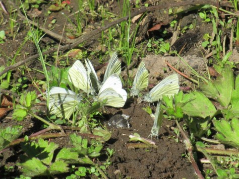 Green-Veined Whites, Den of Pitroddie