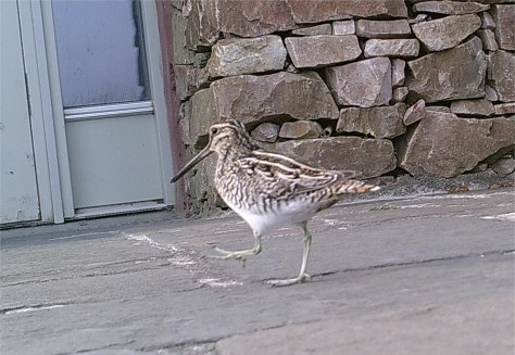 Snipe from wildlife cam