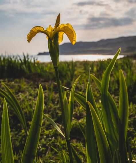 Iris, Calgary Bay, Mull