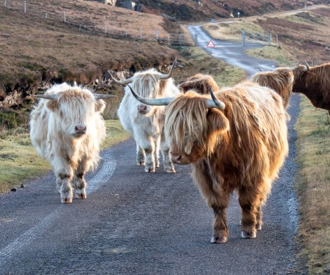 Highland cattle, Torridon