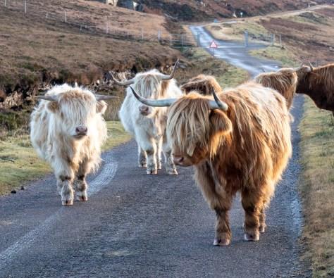 Highland cattle, Torridon