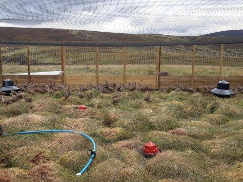 Red-legged partridges, breeding enclosure, Glen Dye