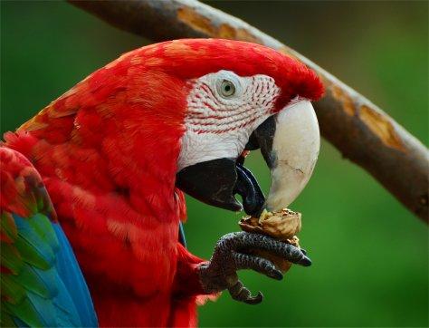 Parrot tongue