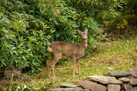 Red deer calf, Ullapool
