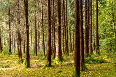 Red cedars, Lael Forest Garden