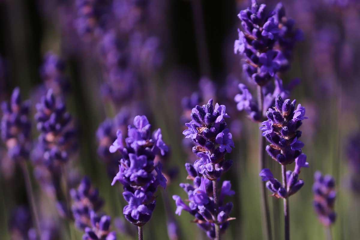lavender_oilandbee.gr