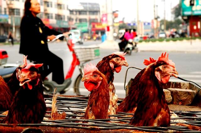 Bird Flu Pandemic 1997