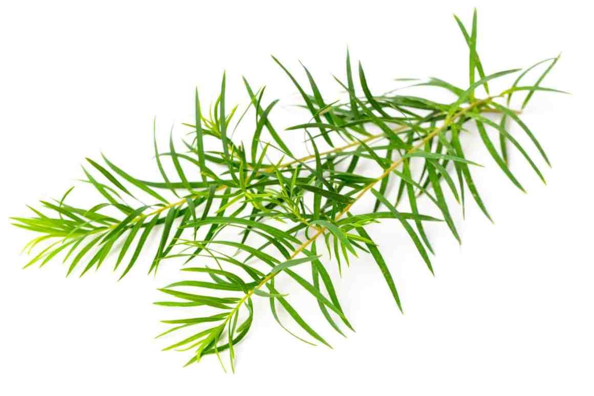 tea tree (Melaleuca alternifolia)
