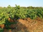 Vigneti-Salento-oilwineitaly
