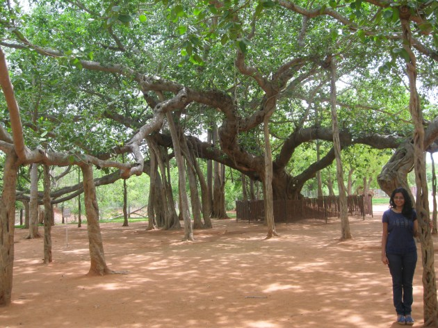 The revered Banyan Tree