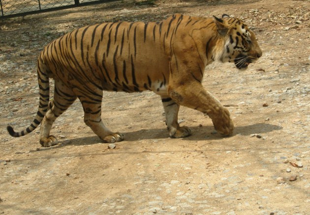A Bengal Tiger in Bengaluru