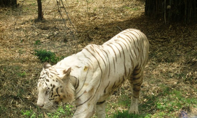 A white tiger in the green jungle