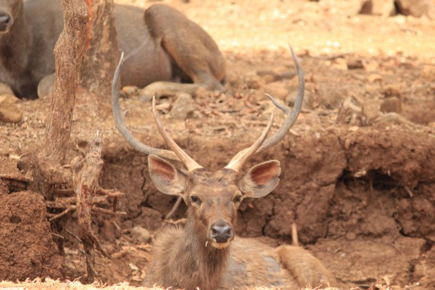 This sambar is perfectly camouflaged in her earthy dwelling