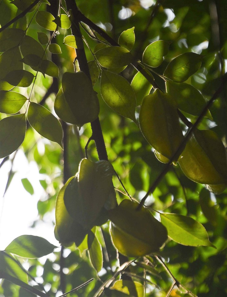 Carambola (popularly known as starfruit) is in abundance on this plantation