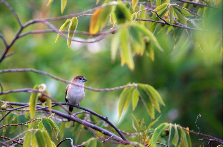I see this Indian silverbill only for a second before it vanishes in the blink of an eye.