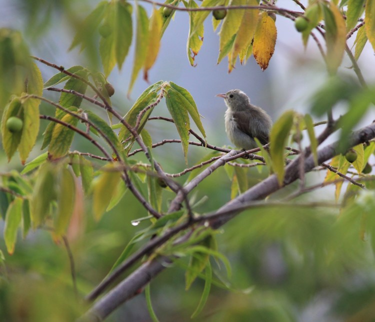 A pale-billed flowerpecker wakes up early to feed on some berries at The Serai, Bandipur.