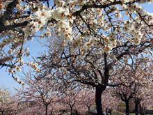 Festa da Amendoeira em Flor com balanço         «bastante positivo»
