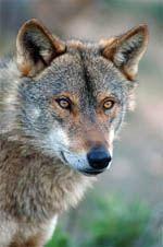 Lobos estão de regresso à região