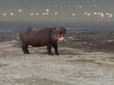 wpid-hippo.jpg