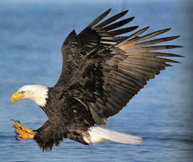 https://i0.wp.com/oiseauxdeproie.webh.ovh/Pygargue-tete-vol.jpg