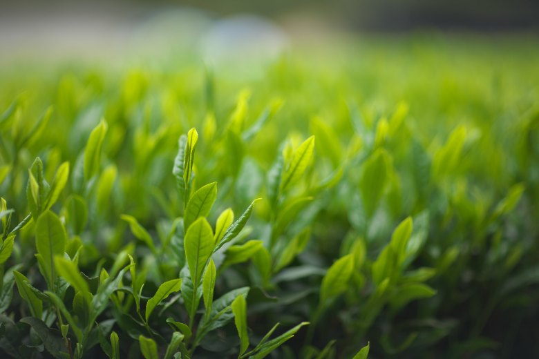 Photo Description: a tea field and a close-up of tea leaves in the foreground, the background has some really nice bokeh.