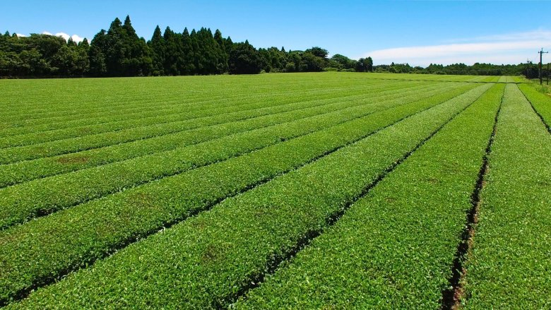 Pictured are rows of green fields of green tea being grown with blue skies and a row of trees in the background