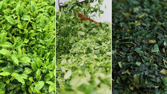 Photo Description: the various stages of green tea production (tencha). The product is used for fresh matcha powder.