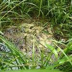 雄蛇ヶ池の草むらにライギョのネスト