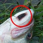 バスの体に残る傷跡★LOVE FISH