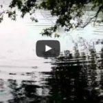 水草を喰いつくした草魚が空気中の葉を食べる動画@雄蛇ヶ池