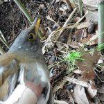 PEラインにからまったシロハラ(野鳥)と恒例の捨てライン回収