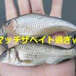 子鯉大増殖のインパクト★バスの個体数・釣果リバウンドを予測させる2つの理由@雄蛇ヶ池