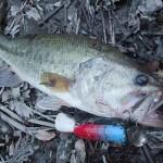 雄蛇ヶ池5/12減水してシャローカバー崩壊、マグナム缶バドとジグで2本