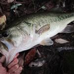 雄蛇ヶ池7/11カバー撃って50UP。水位ほぼ満水、濁りが強い