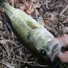 雄蛇ヶ池8/4カバー撃って1本。水温上昇で濁りが改善
