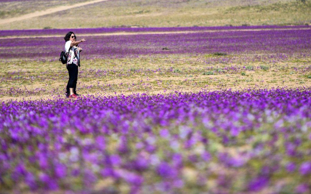 La lluvia convierte el desierto de Atacama en un jardín florido