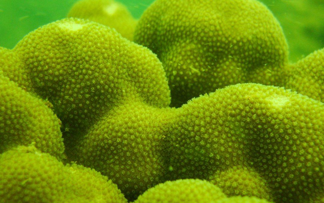 Persiguiendo corales… para no perderles la pista.
