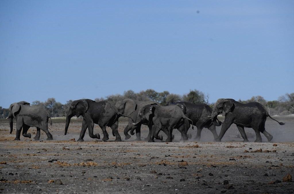 """Fuerte sequía en el sur de África deja """"centenares"""" de elefantes muertos"""