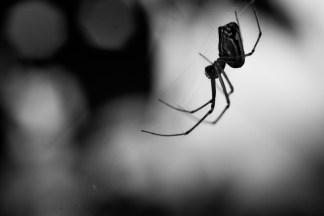 Araña del género Leucauge (Leucauge sp.) Huasteca Potosina.