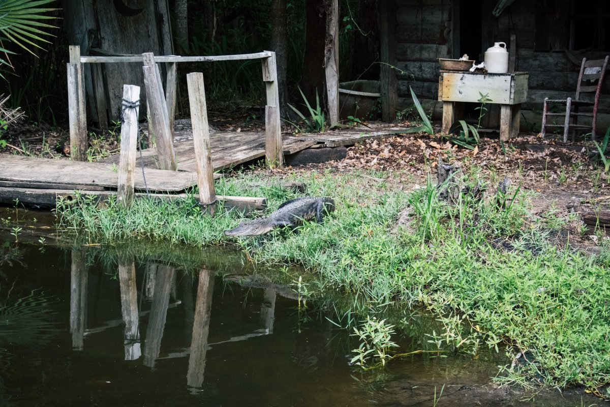 Alligator an Land