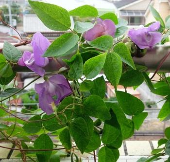 グリーンカーテン 真夏の青いスイートピー CO2削減 スネイルフラワー 花言葉