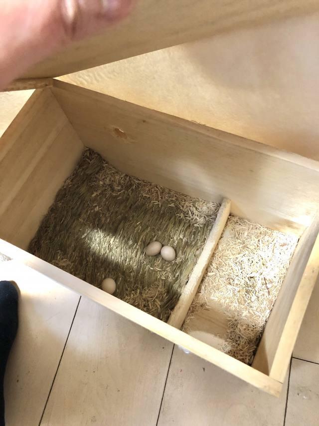 オカメインコの巣箱と無精卵