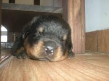 doacao-de-filhotes-de-rottweiler-em-sao-paulo-fotos
